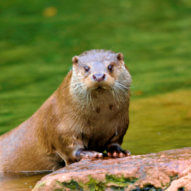 Das tut gut: Ein Fischotter kletter aus dem Wasser. Dank der Deutschen Umwelthilfe können Fischotter neue Lebensräume sicher erobern. Die DUH ist Mitglied der Initiative