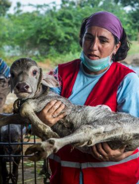 Das tut gut: Tierärztin Dr. Anca Tomescu rettet ein Kälbchen nach einer Überschwemmung im indischen Chennai. Die Tiernothilfe-Teams von VIER PFOTEN sind weltweit im Einsatz. Die Stiftung ist Mitglied der Initiative