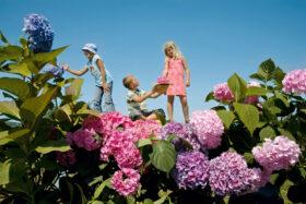 Utopien: Drei Kinder in einer Landschaft aus übergroßen Hortensien. Symbolbild: Utopien sind Quelle der Hoffnung und ein Motor für Veränderung. Alles könnte anders sein. – In: Prinzip Apfelbaum. Magazin über das, was bleibt. Foto: Jan von Holleben