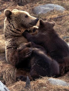 Das tut gut: Ein Braunbärenjunges mit seiner Mutter. In Spanien kämpft EuroNatur gegen die Wilderei. Die Stiftung EuroNatur ist Mitglied der Initiative
