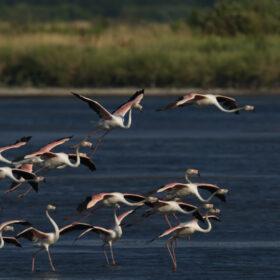 Das tut gut: Famingos fliegen über Flachwasser in der Saline Ulcinj. Dank des öffentlichen Drucks durch die EuroNatur Stiftung steht das Vogelparadies endlich unter Schutz. EuroNatur ist Mitglied der Initiative