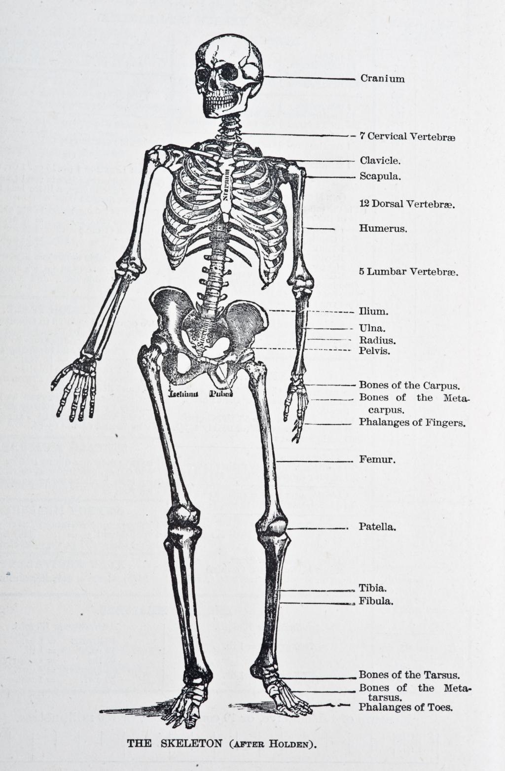 So sterben wir: Anatomische Darstellung des menschlichen Skeletts. Symbolbild. Die meisten Sterbenden fallen in eine tiefe Bewusstlosigkeit, doch sie spüren Berührungen. Was geschieht im Körper, wenn wir sterben, und warum sollten wir über das Sterben reden? Roland Schulz im Interview. In: Prinzip Apfelbaum. Magazin über das, was bleibt. Foto: VintageMedStock / Alamy Stock Photo