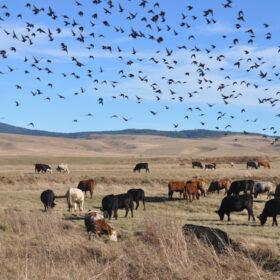 Kühe grasen auf Karstwiesen. EuroNatur schützt die Karstpoljen, auch dank Testamentsspenden.