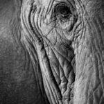 Auge eines Elefanten. Sich der Welt verbunden fühlen und mit einer Testamentsspende bleibende Werte schaffen.
